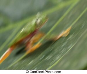 Leaf Frog (Agalychnis hulli) - Climbing up a leaf, Formerly...