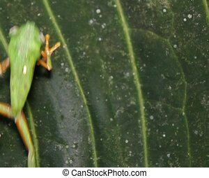Leaf Frog Agalychnis hulli - Formerly known as Hylomantis...