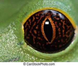 Tarsier Monkey Frog (Phyllomedusa t - Close-up of eye