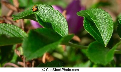 Ladybug - Ladybird on leaves of wild rose