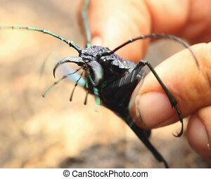 Large longhorn beetle Cerambycidae - A very large beetle in...