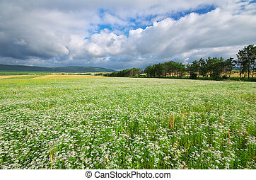 Meadow of coriander. Agricultural nature composition.