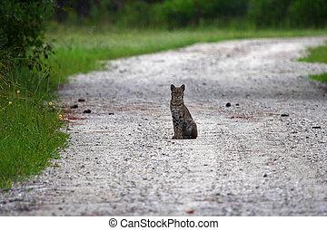 Everglades Bobcat - A bobcat in the Everglades, Big Cypress...