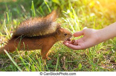 Red squirrel eating hazelnut. Sciurus vulgaris.