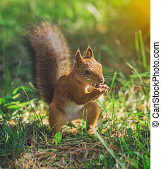 Red squirrel eating hazelnut. Sciurus vulgaris.