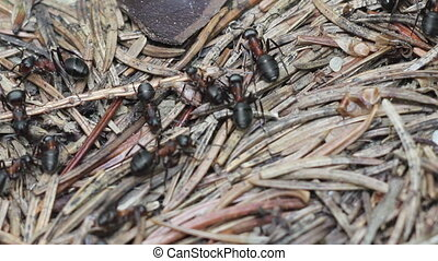 red ants - Close up of red wood ants (formica rufa) working...