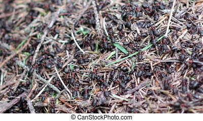 anthill - close-up anthill and many red ants (formica rufa)