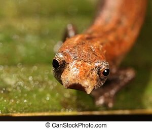 Amazon Climbing Salamander Bolitog - Close-up of head,...