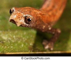 Amazon Climbing Salamander (Bolitog - Close-up of head,...