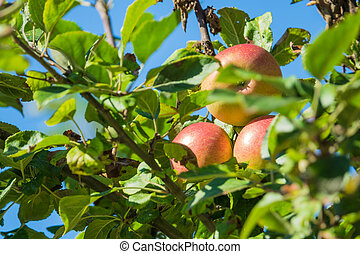 Red mellow apples on a apple tree