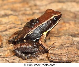 Sanguine Poison Frog Allobates zap - Male carrying tadpoles...