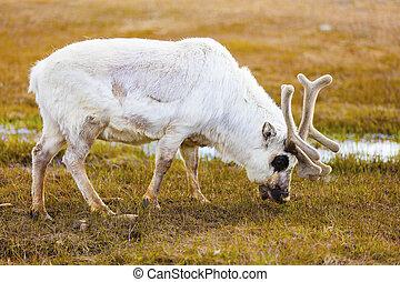 Close-up of reindeer eating at Svalbard - Reindeer eating...