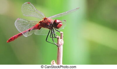 Dragonfly on a Branch. Red big Dragonfly, close-up, arrives...