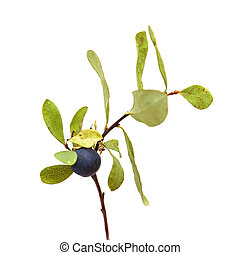 Vaccinium uliginosum, bog bilberry branch isolated on white