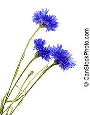 dark blue cornflower isolated on white