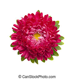 dark pink annual aster isolated on white background