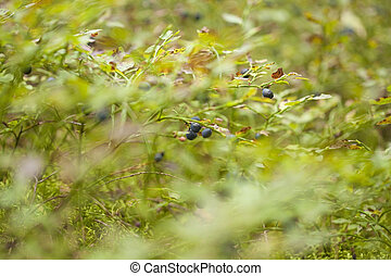 autumnal foraging background with bilberry bushes