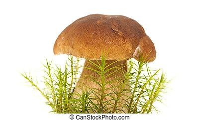 Boletus edulis edible mushroom isolated on white background