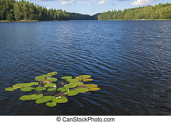 finnish summer lake  with flowering waterlilies