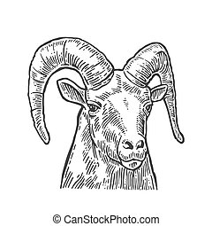 Goat head on white background.