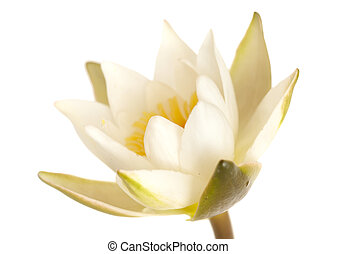 Pygmy Waterlily isolated