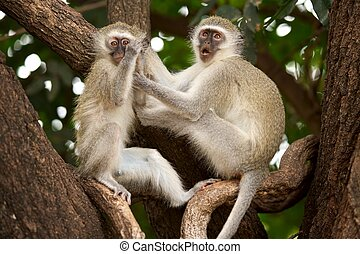 Vervet Monkeys - Vervet Green monkeys Cercopithecus aethiops...