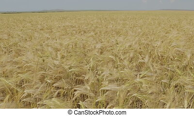 Field with harvest rye. Beautiful and rich nature of the...