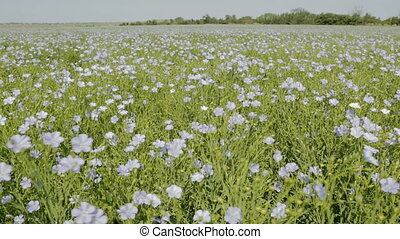 Flowering blue flax field Beautiful and rich nature of the...