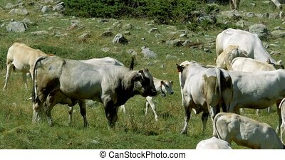 Cows And Cattles At Gias Della Casa, Italy - Graded and...