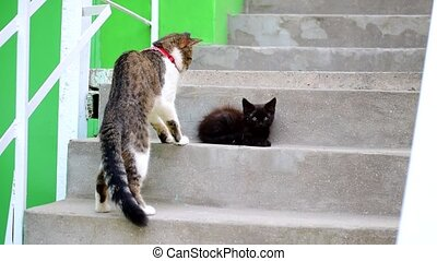 Domestic cat with red collar meets small black stray kitten
