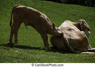 Cows in Carinthia, Austria, in July.