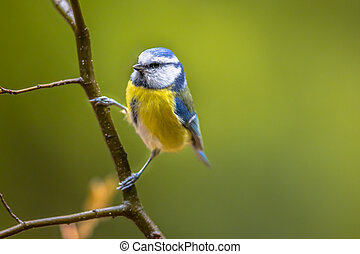 Eurasian blue tit clamped