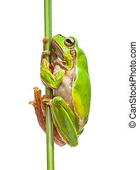 European Tree frog holding on to stick - Green European Tree...