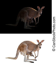 female kangaroo and joey in the dark and white background