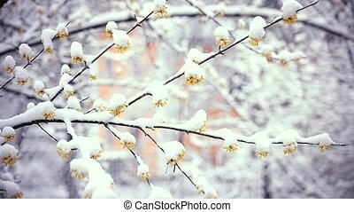 Wintry day in spring. Snow falls on flowers of cornealian...