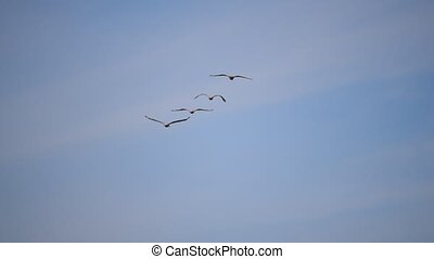 Four great white pelicans fly in formation - Pelecanus...