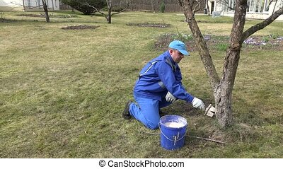 Careful gardener whitewashing fruit apple tree trunk with chalk