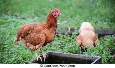Purebred chicken walks in yard