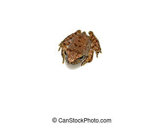 European tree frog posing isolated on white background
