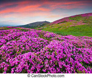 Colorful summer scene in the mountains Blossom carpet of...