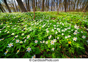 Sunny spring scene in the woodland. - Blooming anemone...