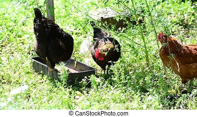 chickens pecking food in yard - chickens pecking food in the...
