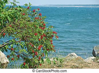 Sambucus sibirica , near lake Baikal,  Russia