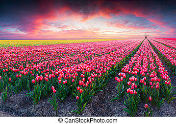 Dramatic spring scene on the tulip farm. Colorful sunset in...