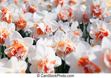 White narcissus in the Keukenhof gardens, used as...