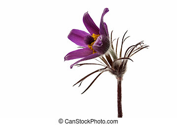 common pasque flower [Pulsatilla vulgaris]