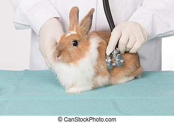 listen with a stehoscope at a rabbit - doctor at the vet...