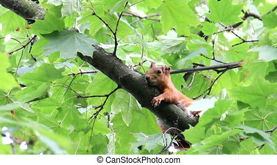 red squirell - close-up red squirell (Sciurus vulgaris) on...