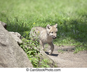 wolf cub - An image of a nice wolf cub