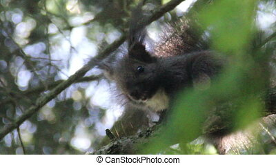 carpathian squirell - close-up carpathian squirell (Sciurus...